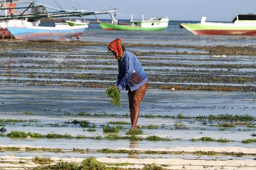 Lombok seaweed being collected for new processing plant