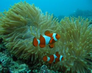 Clown Fish - Belongas Bay