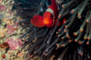 Clown Fish - Kuta Reef