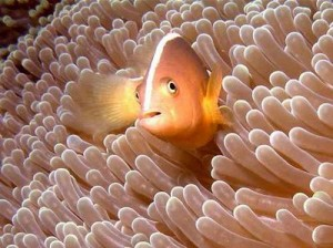 Clown Fish (Anenome Fish) - Mawun Bay