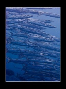 School Of Wahoo