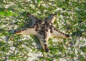 Starfish - Kuta Bay