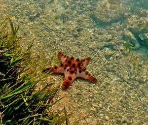 Starfish - Tanjung A'an Bay