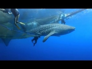 Whale Shark Freed From Net