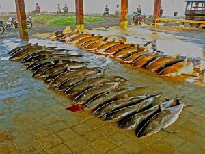 Tanjung Luar Fish Market - Fresh Sharks