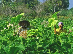Local Lombok Farmers Harvesting Tabac (Tobacco)