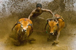 Lombok Male'an Sampi (Cattle Race)