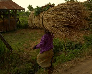 Harvesting Lombok Alang Alang For Roof Thatching in Lombok