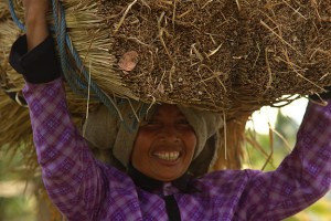Harvesting Lombok Alang Alang For Roof Thatching