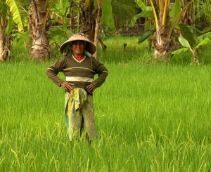 In The Rice Fields of Lombok